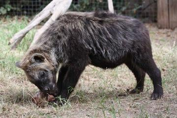Visitors to the Wildlife World Zoo & Aquarium can now see a pair of spotted hyenas. By Andrew Michalscheck