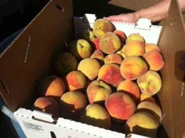 Schnepf Farms in Queen Creek is getting ready for their annual Peach Festival. The festival takes place two weekends, May 12th and 13th as well as the 19th and 20th. By Andrew Michalscheck