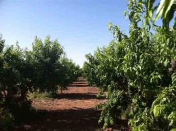 A view of Schnepf Farms in Queen Creek as they prepare for their annual Peach Festival. By Andrew Michalscheck