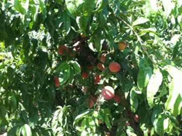 Schnepf Farms doesn't use pesticides, so you can pick the fruit and don't even need to wash it. By Andrew Michalscheck