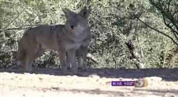 Officials warn that coyotes can adapt to most any environment. By Andrew Michalscheck