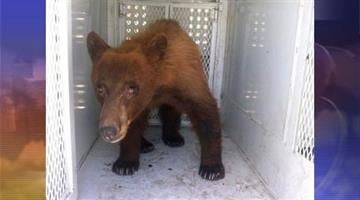 In this photo provided by Kern County Animal Control, a black bear that wandered onto school property during a Bakersfield school graduation is shown before being released in Kern County, Calif., Thursday, May 31, 2012. By Catherine Holland