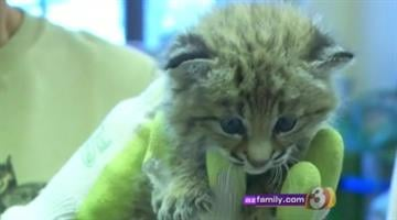 Baby bobcat By Jennifer Thomas
