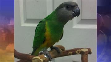 Two Senegal parrots were stolen from Tropic Zone. By Jennifer Thomas