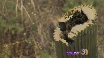 Tonto National Forest officials are investigating after a rare crested saguaro cactus was damaged in the area of the Four Peaks Wilderness. By Jennifer Thomas