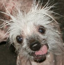 Rascal the original 2002 World's Ugliest Dog and Ring of Champions Title holder. By Andrew Michalscheck