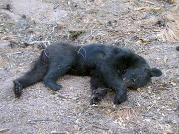 Male bear found near Ponderosa Campground By Jennifer Thomas