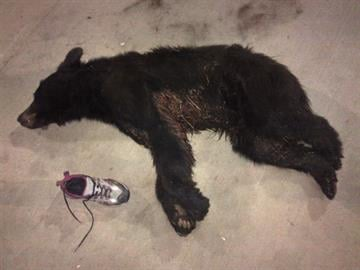 Male bear found near Tonto Village By Jennifer Thomas