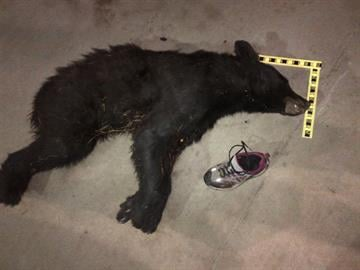 Male bear found near Tonto Village By Jennifer Thomas