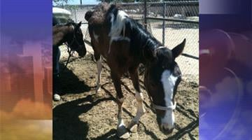 A mare with a broken ankle had to be euthanized. By Jennifer Thomas