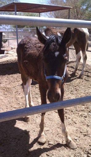 An extremely thin and malnourished colt was found on a property.in the 6000 block of West Broadway Road. By Jennifer Thomas