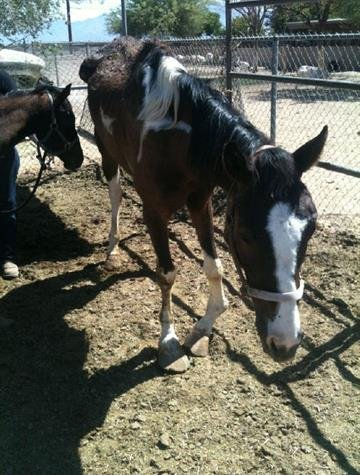 An extremely thin and malnourished mare was found on a property in the 6000 block of West Broadway Road. By Jennifer Thomas