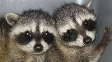 Orphaned raccoons at Southwest Wildlife Conservation Center By Jennifer Thomas