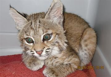 Bobcat kitten at Southwest Wildlife Conservation Center By Jennifer Thomas