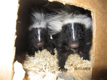 Skunk babies at Southwest Wildlife Conservation Center By Jennifer Thomas