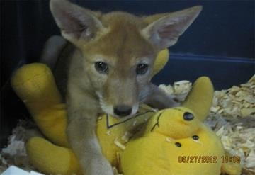 Coyote puppy at Southwest Wildlife Conservation Center By Jennifer Thomas