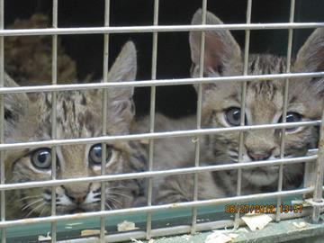 Bobcat kittens at Southwest Wildlife Conservation Center By Jennifer Thomas