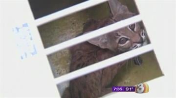 Animal experts had to rescue a young bobcat that fell into a Tucson's home solarium and got stuck. By Jennifer Thomas