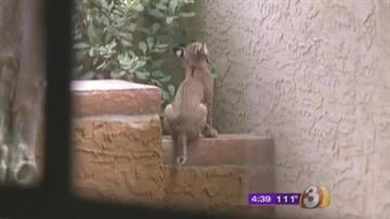When a Scottsdale couple looked into their backyard, they were stunned to see a mother bobcat and her kitten. By Jennifer Thomas