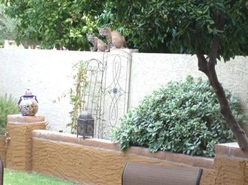 When a Scottsdale couple looked into their backyard, they were stunned to see a mother bobcat and her kitten. By Mike Gertzman