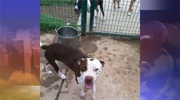 Two female pit bulls were found abandoned at Washington Park. By Jennifer Thomas