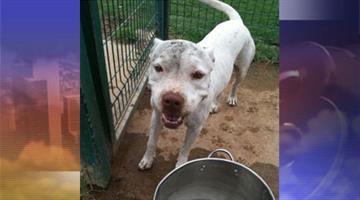 Two female pit bulls were found abandoned at Washington Park. By Jennifer Thomas