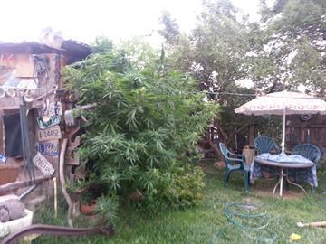 Marijuana found in Gaven Martinez's yard By Jennifer Thomas