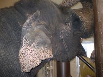 A keeper swabs the cheek of Indu, one of the Phoenix Zoo's Asian elephants. By Jennifer Thomas