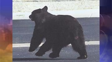 A bear was found roaming around Sierra Vista on Thursday, Aug. 30. By Jennifer Thomas