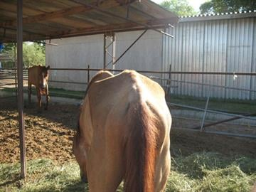 Neglected horses were found on a property near Southern Avenue and El Mirage Road in Avondale. By Jennifer Thomas