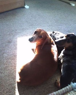 An El Mirage family believes someone poisoned their four dachshunds. By Jennifer Thomas