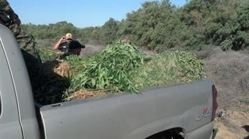 A large and sophisticated marijuana field was discovered near Wenden. By Jennifer Thomas