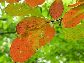 A tree displays red leaves on Sunday, Sept. 30, 2012, in Nashville, Tenn. As days get shorter and nights become chillier, the annual fall foliage show is getting under way in the Southern Appalachians. (AP Photo/Teresa Wasson) By Teresa Wasson
