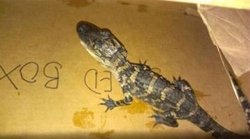 Tempe police found a Caiman alligator inside an apartment while investigating a burglary. By Jennifer Thomas