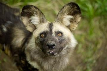 African painted dog By Andrew Michalscheck