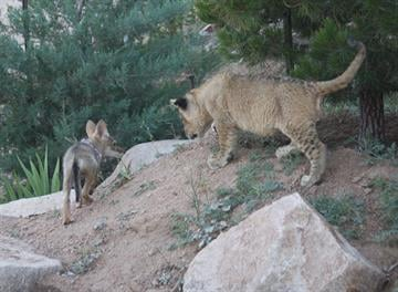 They make a curious couple, but at Keepers of the Wild, a wildlife park near Kingman, an African lion and Arizona coyote are furry friends. By Mike Gertzman