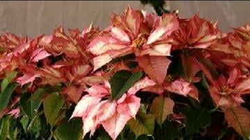 After 27 years, the organizers of the annual Poinsettia Festival at Gardener's World in Phoenix say this year's festival was the last. By Catherine Holland