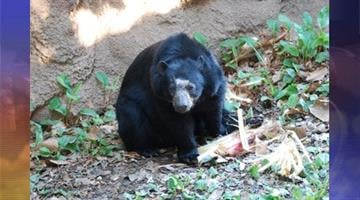The Phoenix Zoo's Andean bear Rio. By Andrew Michalscheck