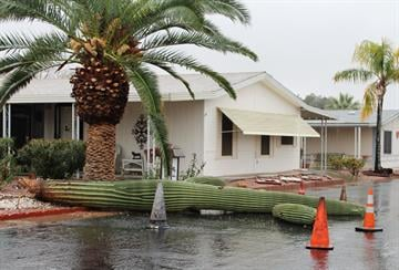 Too much rain for this Saguaro cactus in Mesa, Ariz. By Mike Gertzman