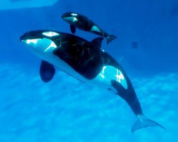 Mom and baby killer whale swim together at SeaWorld San Diego's Shamu Stadium. By Catherine Holland
