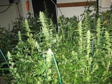 A smaller marijuana grow operation was found in the home. By Jennifer Thomas