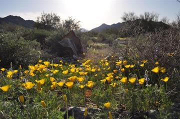 Wildflower blooms at the Las Lomitas trail at South Mountain Park & Preserve. By Mike Gertzman