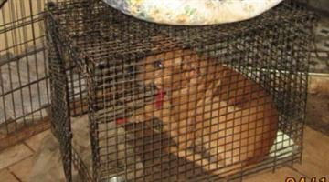 Animal Care & Control officers seized 26 dogs and other animals from a home south of Maricopa. By Jennifer Thomas