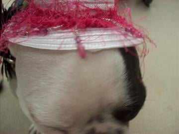 A dog trying on a hat at the Phoenix pet expo By Content Creator