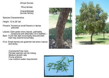 African Sumac - Rhus Iancea