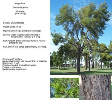 Allepo Pine - Pinus halepensis