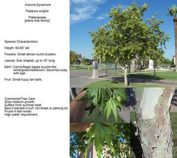 Arizona Sycamore - Platanus wrightii