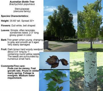 Australian Bottle Tree - Brachychiton populneus