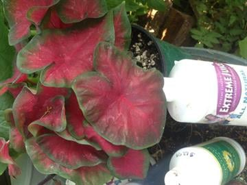 Caladium By Catherine Holland