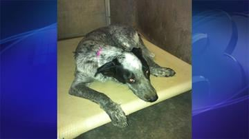 A dog is recovering after it was found shot and severely dehydrated in San Tan Valley. By Jennifer Thomas
